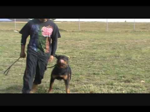 ... Force Competition Between Rottweiler, German Shepherd, And Pitbull