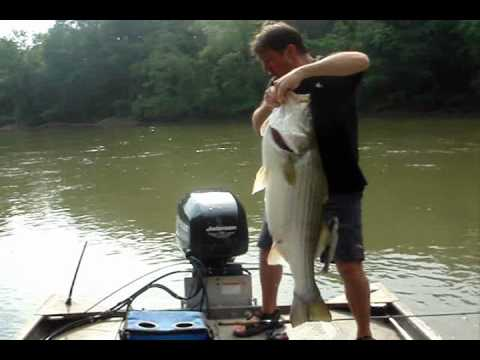 36 Pound Striper - Video 2 of 2 - Chattahoochee River Striped Bass Fishing Atlanta Georgia