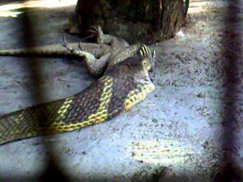 3+ Meter King Cobra Eating 1 Meter Long Water Monitor Lizard