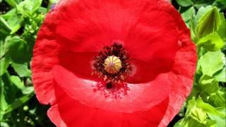 La flor de la Amapola