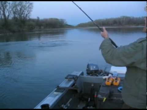 Sturgeon Fishing on the Sacramento River with Bare Bones Guide Service, Ron's Sturgeon