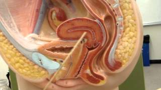 Female Reproductive System Model 1