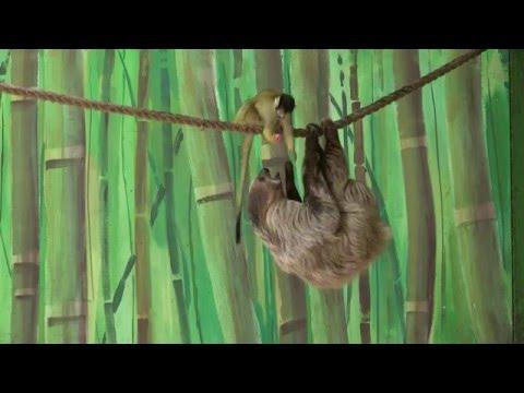 スローな動きのナマケモノが猿に餌を盗られる瞬間映像