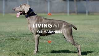 ALL ABOUT LIVING WITH WEIMARANERS