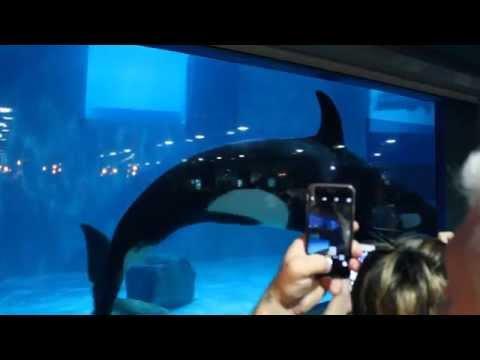 Orca in Moscow oceanarium (Moskvarium) at VDNKh