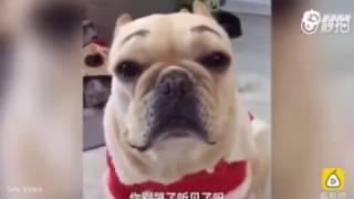 Cachorro chora depois de levar bronca por ter destruído sofá