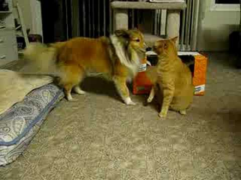 Crazy Sable Sheltie and ginger tabby cat.