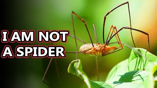 Opiliones facts: they're also known as daddy long legs | Animal Fact Files