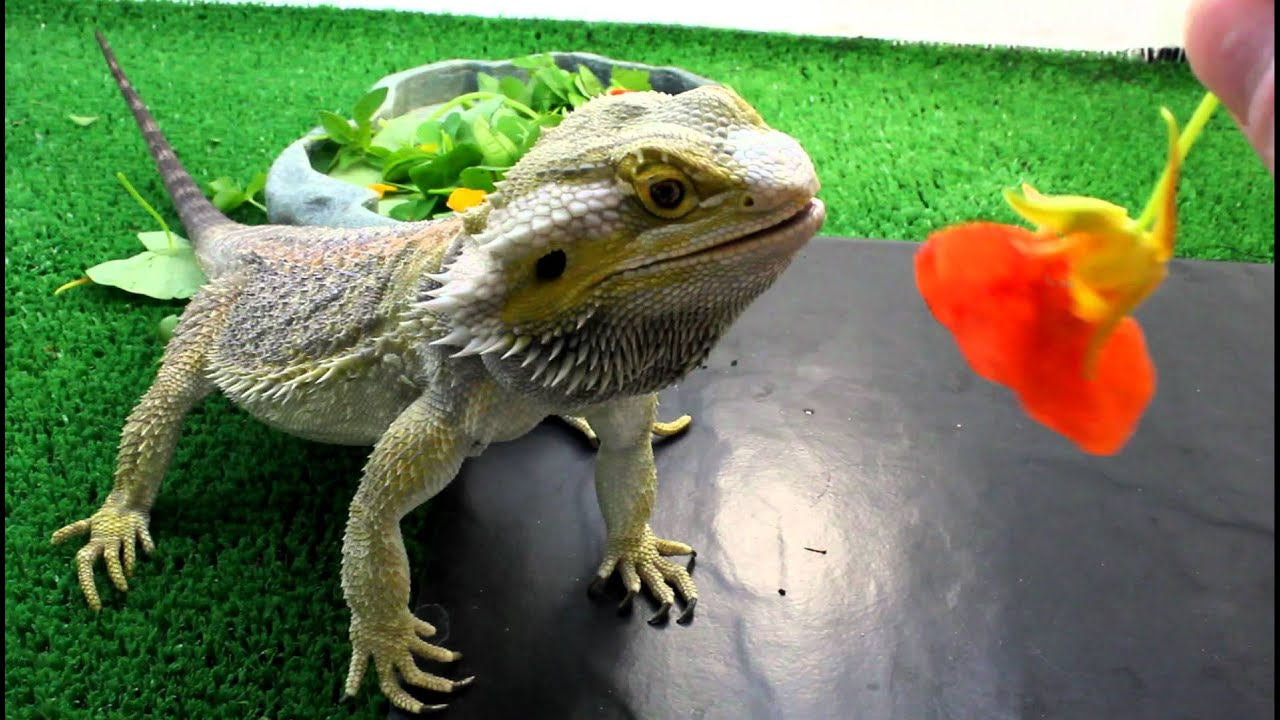 Why Is My Bearded Dragon Not Eating 7 Solutions to Help