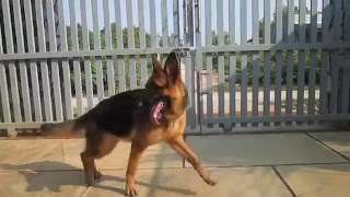 Chó Becgie cái 7,5 tháng tuổi