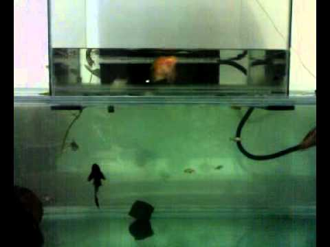 Open bottom bottom less fish tank aquarium trial india for Inverted fish tank
