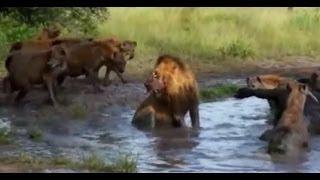 Sırtlanlar avlanıyor belgesel