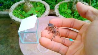 Nhện Tarantula, người bạn mới