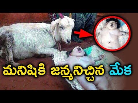మేకకి పుట్టిన మనిషి ? వింతల్లో ఒక మేక వింత ? Goat Gives Birth to Human | miracle news | Sumantv