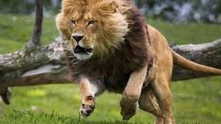 Lions The Best Killers in the World - Nat Geo Documentary - Part2