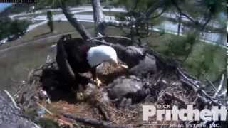 Southwest Florida Eagle Cam 3rd Feb 2014 12.24 PM Harriet trying to cover E3´s remains