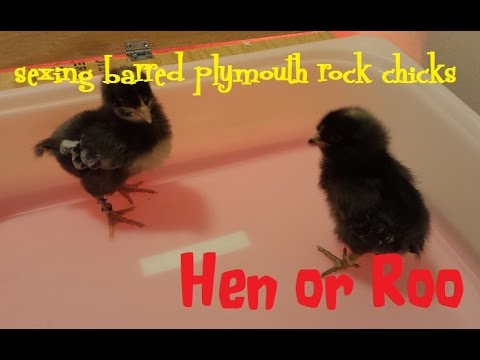 Sexing Barred Plymouth Rock Chicks