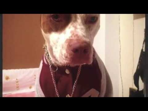 Pitbull clothing (Dog with clothes)