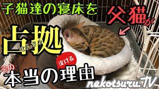 【感動】子猫の寝床を奪った父猫。その本当の理由が泣けるThe father who took the kitten's bed was actually treating a sick kitten