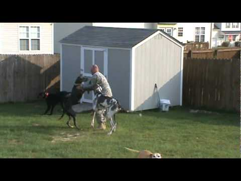 Great Danes welcome home Soldier