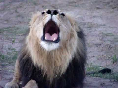 Lion Roaring!! video