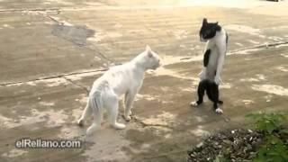 Pelea De Gatos   Videos De Humor   Humor Variado   ElRellano Com