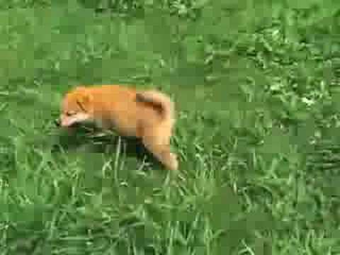 柴犬の里 高遊荘 「柴犬の赤ちゃん」3