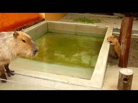 生後1ヶ月のカピバラの赤ちゃんが、すいすい泳ぐよ!