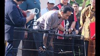 Download video Inilah Kitaro, Burung Murai Juara Yang Gagal Dibeli Jokowi Seharga 250 Juta