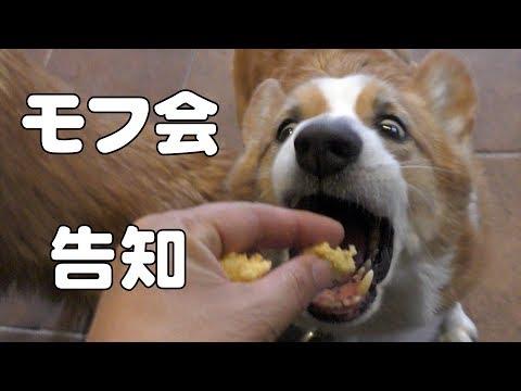 モフ会告知 Goro & Roku in coffee shop / シフォンケーキを食べるゴローさんとロクさん 20180223 dog コーギー 犬