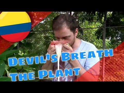 Devil's Breath (Scopolamine) from Angel's Trumpets (Brugmansia) Explained (MAH09359)