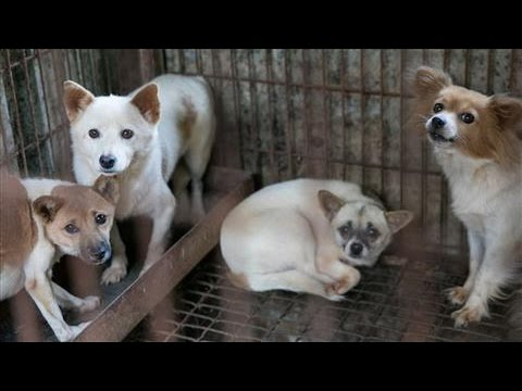 Dogs Rescued From Korean Meat Farm