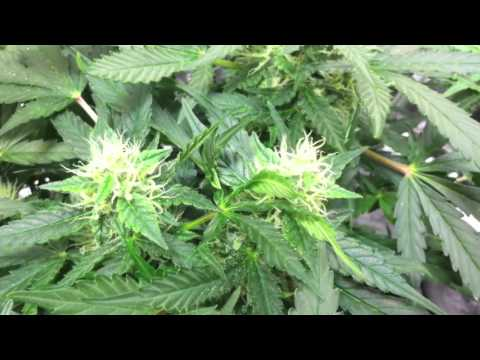 best place to buy cannabis growing northern lights marijuana plants. Black Bedroom Furniture Sets. Home Design Ideas