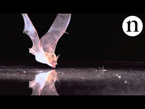 BAT SENSE - by Nature Video