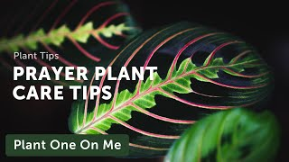 Ep 031: Prayer Plant (Marantaceae) Care - Plant One On Me