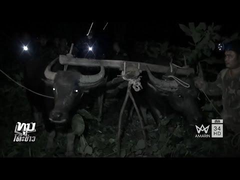 ทุบโต๊ะข่าว : สุดโหด ให้ควายกินยาบ้า แก๊งมอดไม้บังคับชักลาก ทหารบุกจับ หนีเตลิดทิ้งควาย 01/11/59
