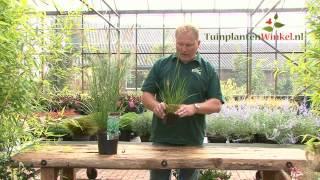 Uitleg en tips over de Pennisetum alopecuroides Hameln door onze tuinplantenwinkel.nl specialist