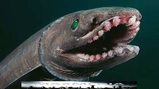 Horrifying Prehistoric Frilled Shark Found Swimming off Coast of Portugal - Dinosaur Shark