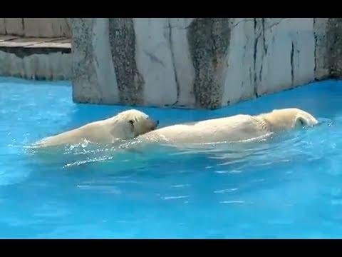 おかあさんにぴったりホッキョクグマ~Polar Bears cuddle close together