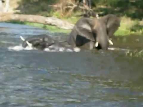 Elephant Crocodile Crocodiles Attack Elephants