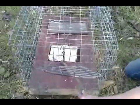 Живоловушки на куницу видео