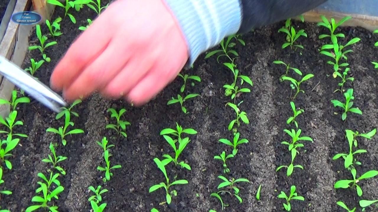 Сажать гвоздику семенами осенью 97
