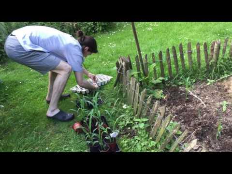 Gemüse pflanzen und Gewächshaus mitte Mai