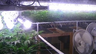 Green Ninja's Next Indoor Organic CFL Medical Marijuana Grow Part 16...Grow Room Update