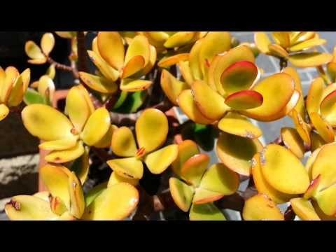 Crassula ovata - jade plant - money tree HD 07