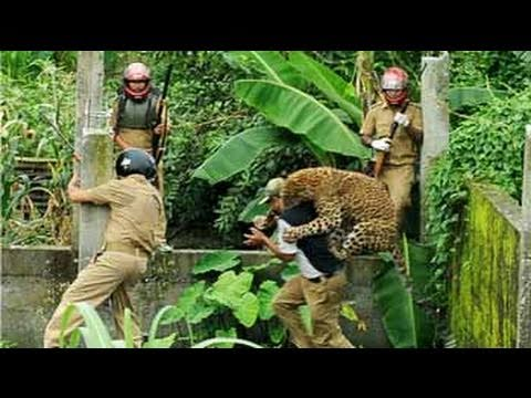 Caught on camera: Leopard attacks forest guard