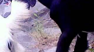 Download Goat mating 3Gp Mp4