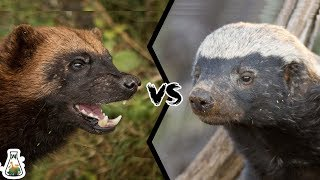 WOLVERINE VS HONEY BADGER - Who Would Win?