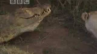 Battle of jaws - lions vs crocodiles - BBC wildlife