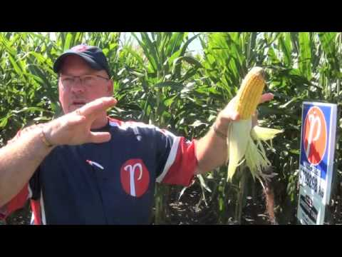 Corn School - How to Estimate Your Corn Yield